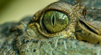 Igen termetes krokodil élt Ausztráliában pár millió éve
