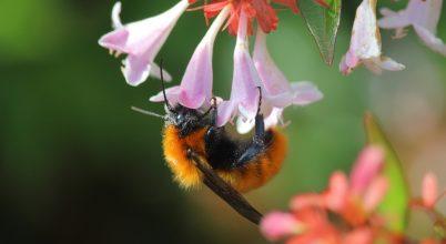 A méhfajok negyedét nem látták az 1990-es évek óta