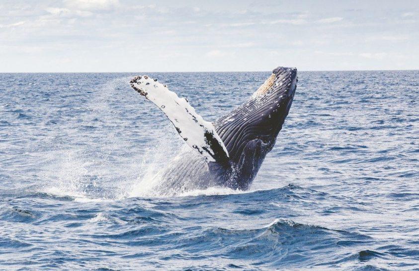 Elkezdtek visszatérni a bálnák régi otthonaikba
