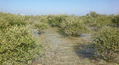 A klímaváltozás miatt tűnhetett el Omán ősi mangroveerdeje