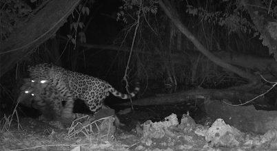 Videón, ahogy egy jaguár lecsap egy másik macskafélére