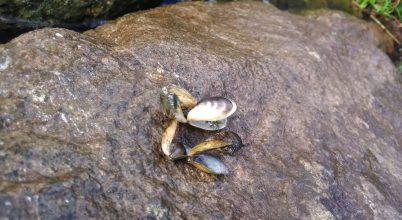 Inváziós kagylók mérgezik a Nagy-tavakat