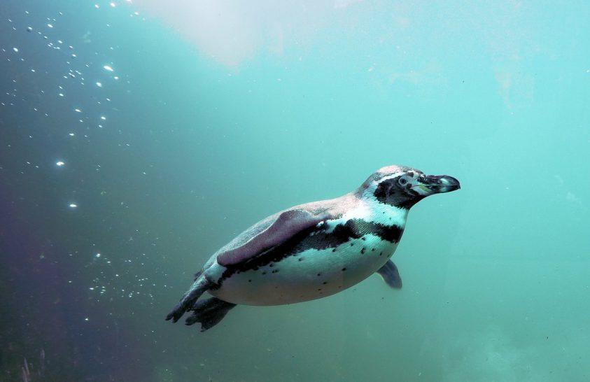 Miként váltak kiváló úszókká a vízi madarak?