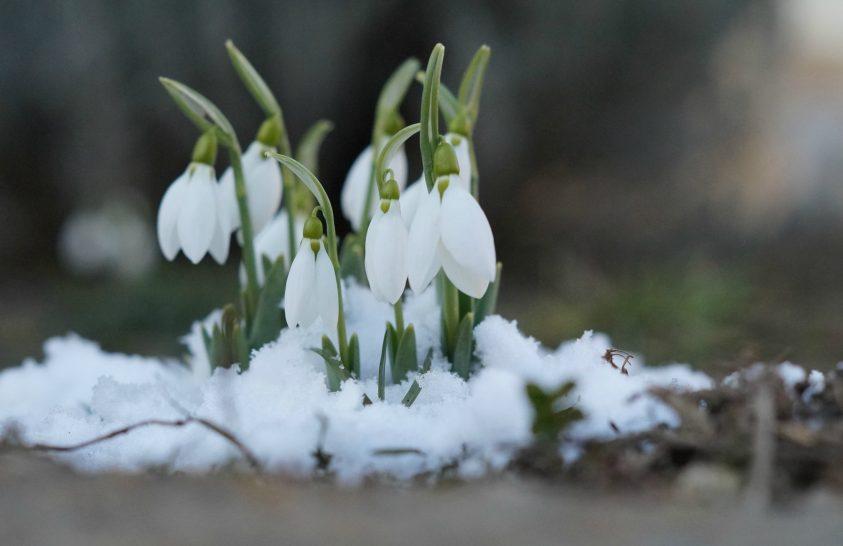 A nap képe: Hóvirág