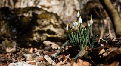 Hóvirág, a tavasz hírnöke