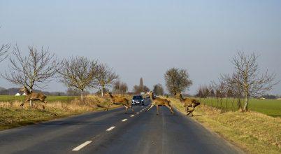 Szarvasok az országúton