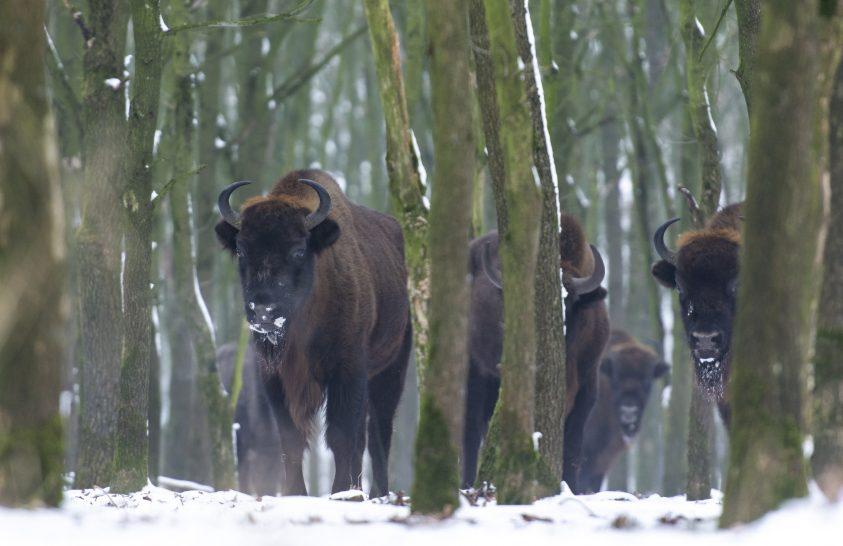 Jó hírek a bölényekről