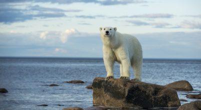 Az északi-sarkvidéki jégveszteség hatása az ott élő állatokra