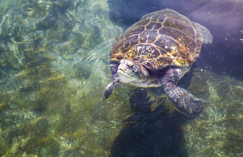 Majonézzel kezelik az olajszennyezéstől szenvedő teknősöket