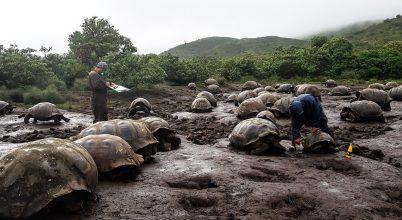 Óriásteknősök a Galápagos-szigeteken