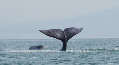 Grönlandi bálnák – sikertörténet Alaszkában