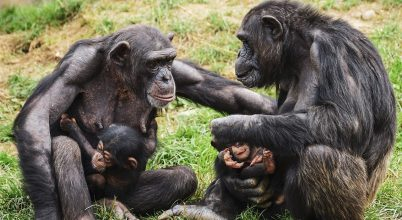 A csimpánzok összefognak egy közös ellenség ellen