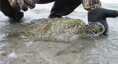Ezrével mentik a megdermedt tengeri teknősöket Texasban
