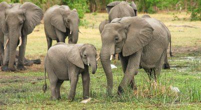 Az emberek késztetik több károkozásra a kenyai elefántokat
