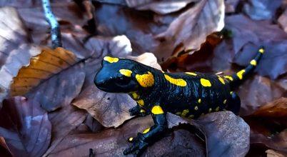 salamander - krónika