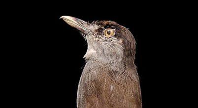 Hosszú idő után most került elő egy titokzatos madár a borneói esőerdőben
