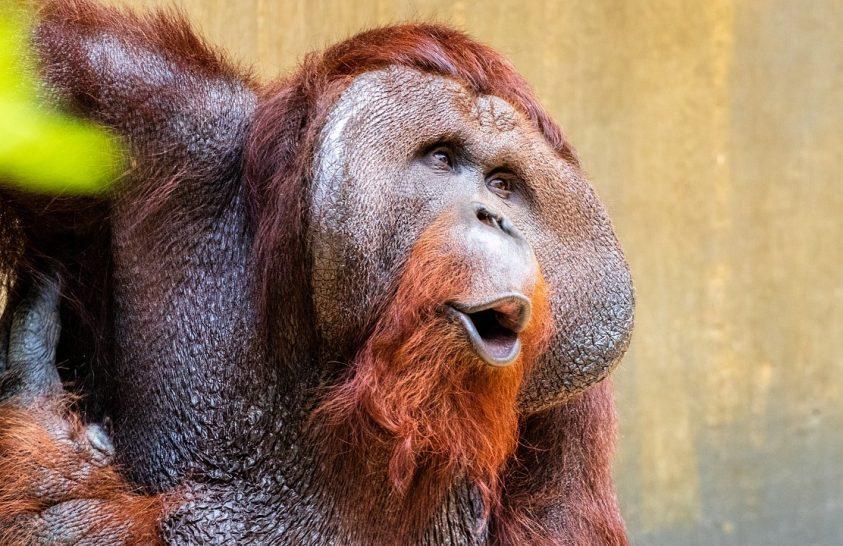 Helikopterrel térhetett haza egy csapat orangután