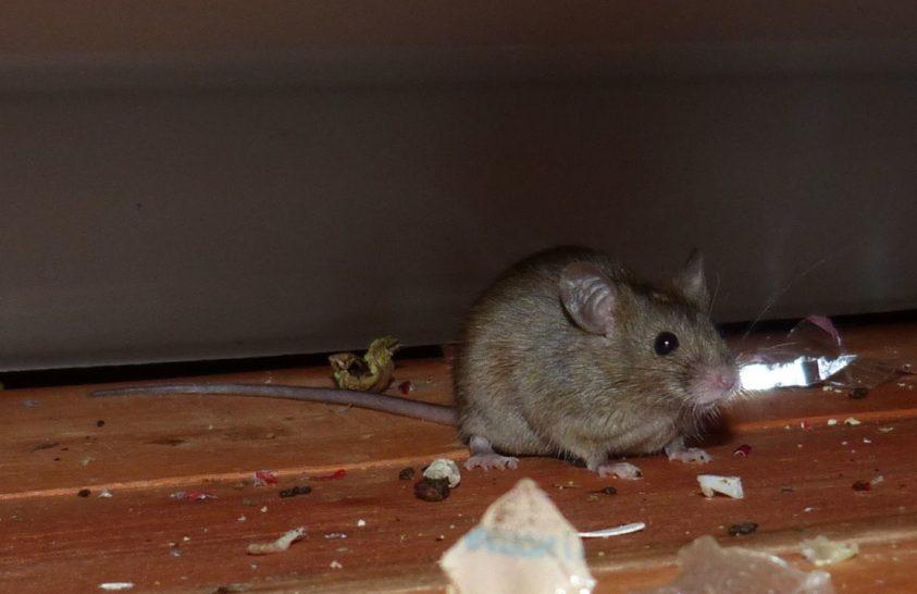 Ügyesebbé váltak az ember közelében élő egerek