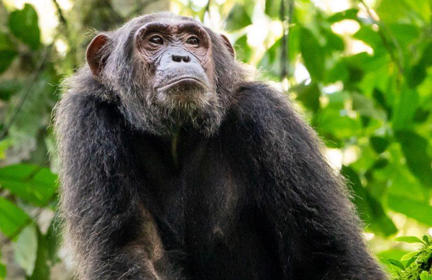 Új baktérium okozhatja a rejtélyes csimpánzbetegséget