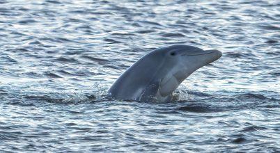 Egy életre megkeseríti az olaj a delfinek életét