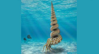 Különös vázú ammoniteszre bukkantak Japánban