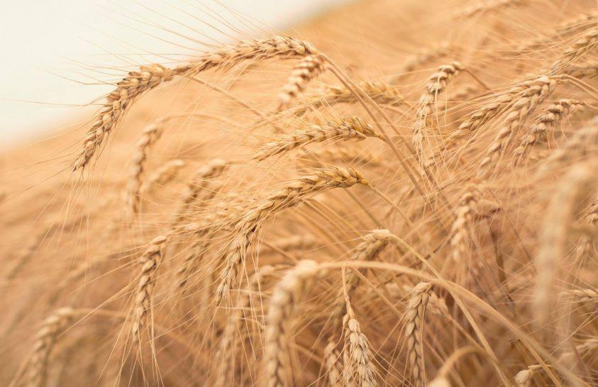 Hazai kutatók nemesítéssel növelik a búza rostanyagtartalmát