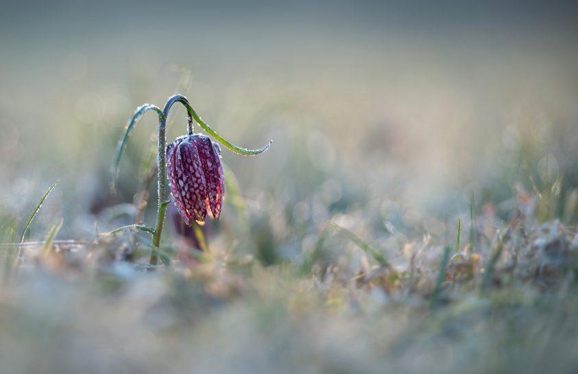 A nap képe: Deres liliom
