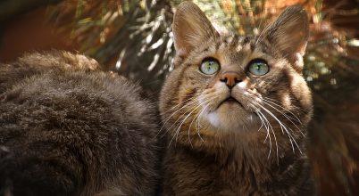 A vadmacskák védelmében indít programot a Budakeszi Vadaspark