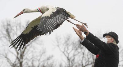 Gyógyult gólyák szabadon engedése