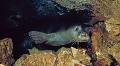 A világ legritkább fókájának titkos barlangjaira bukkantak