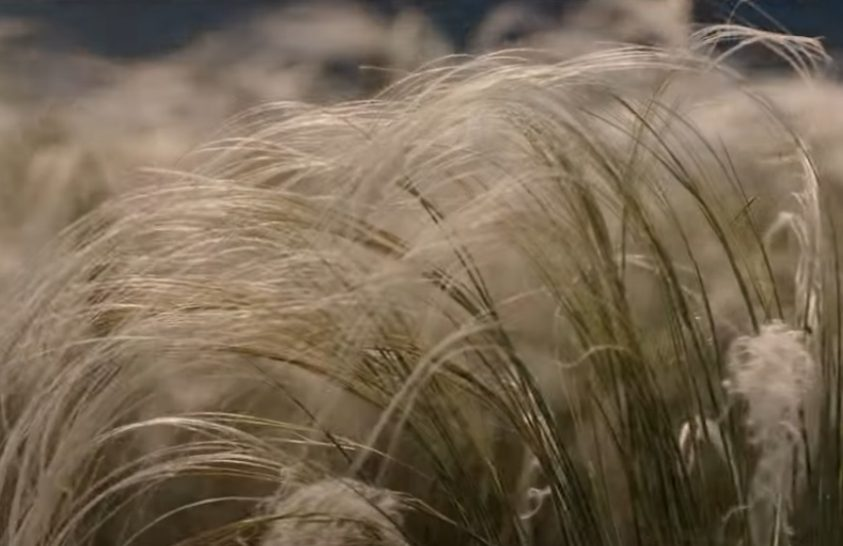 A homokvidéket hangulatossá varázsoló árvalányhaj