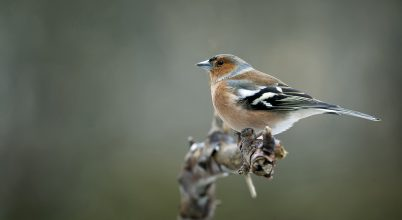 Már a telefonunk is meg tudja mondani, milyen madár énekét halljuk