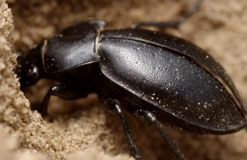 A Gönyüi-homokvidék jellegzetes bogarai