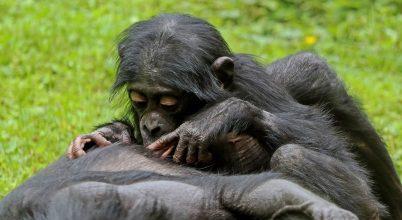 A bonobók különleges gondoskodását dokumentálták