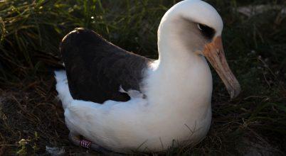Hetvenévesen is költött a világ legidősebb tengeri madara
