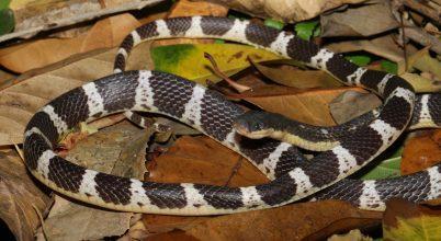 Új mérges kígyót fedeztek fel Kínában