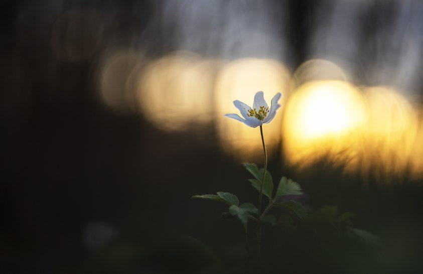 A nap képe: Naplemente szellőrózsával