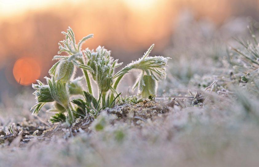 A nap képe: Magyar kökörcsin
