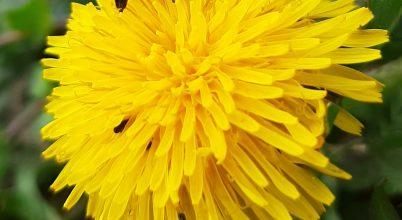 Pollent gyűjtő méh