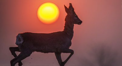 A nap képe: Napkelte őzbakkal
