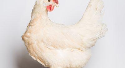 Az új tojóhibrid a klímaváltozást is jobban tűri