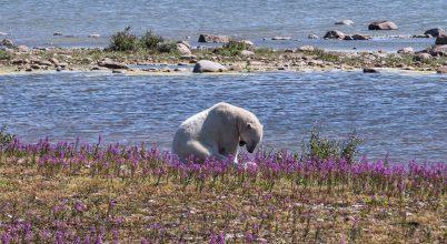 Egyelőre még ügyetlenek a tojásrablásban a jegesmedvék
