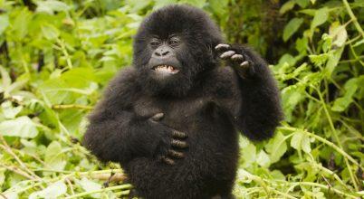 Ezt üzenik a gorillák a mellkasdöngetéssel