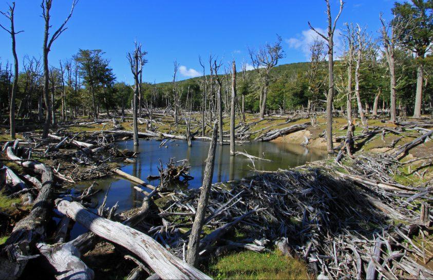 Patagónia ősi fáit fenyegetik a betelepített hódok