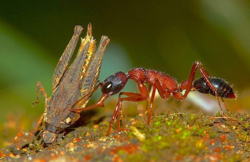 Agyzsugorítás hangya módra