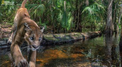A floridai puma visszatér