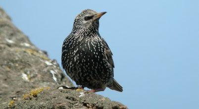 Ez a madár nagyon jól utánozza a sárgarigó énekét