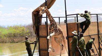 Zsiráfokat mentettek egy elmerülő szigetről