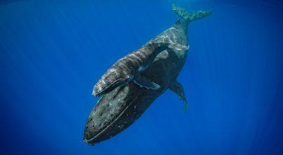 Betekintés a bálnák rejtélyes életébe