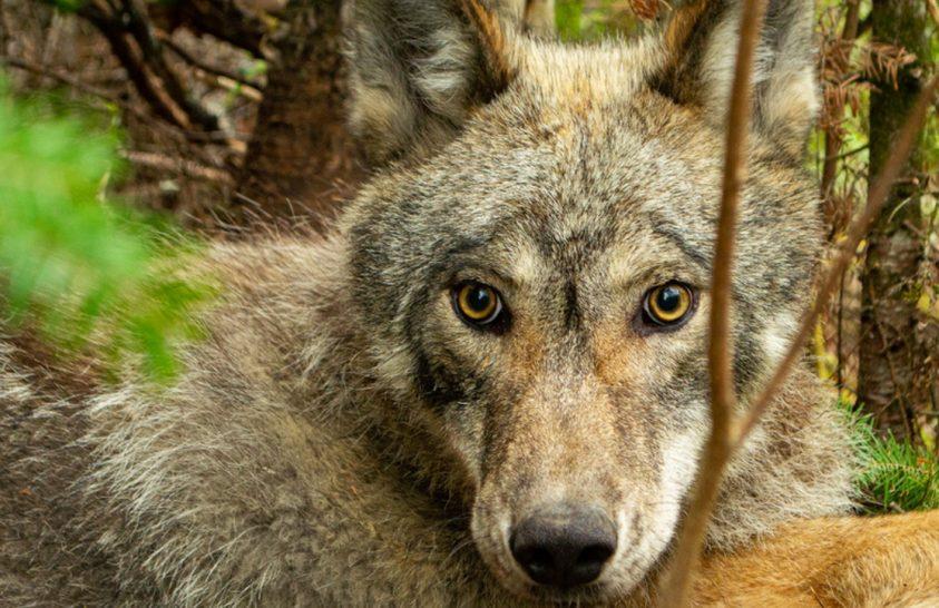 A farkas egy napja